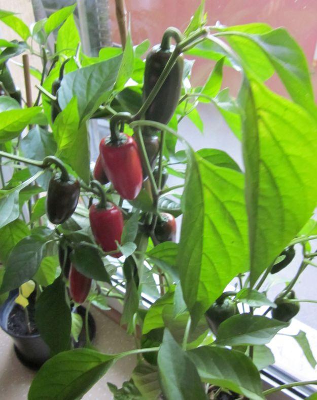 Paprika im Haus